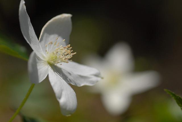 イチリン草4