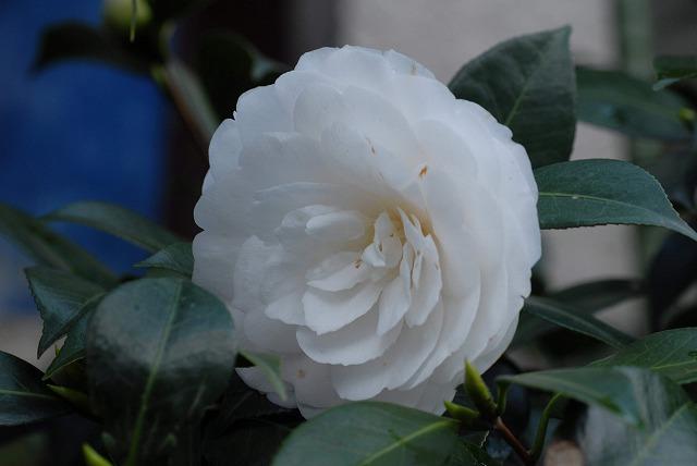 八重の白椿2