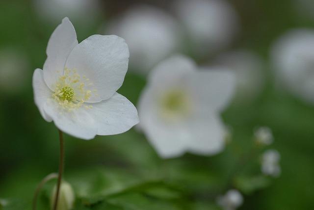 イチリン草5