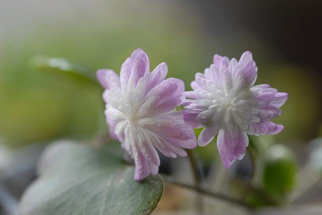ピンク濃い色ユキワリ草