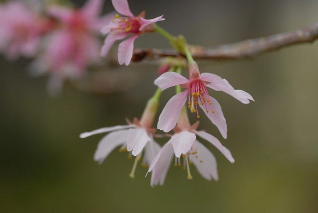 姫みどり桜