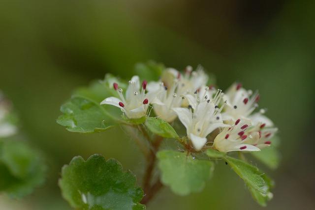 白花ネコノメ1