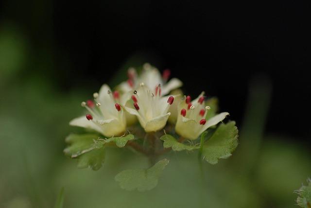白花ネコノメ3