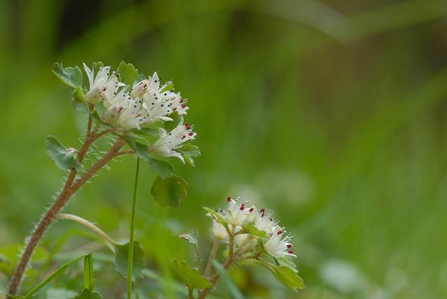 白花ネコノメ5