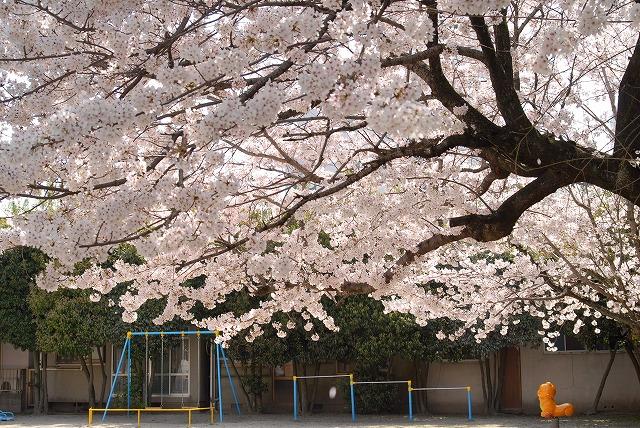 春日公園の桜2