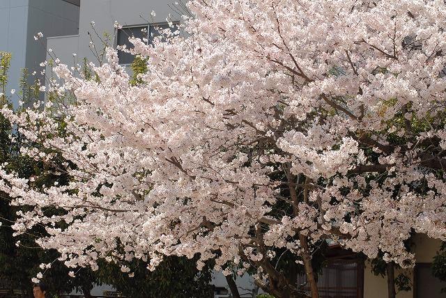 春日公園の桜1