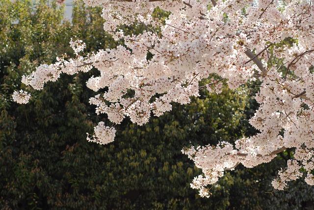 春日公園の桜3