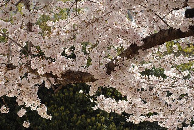 春日公園の桜4