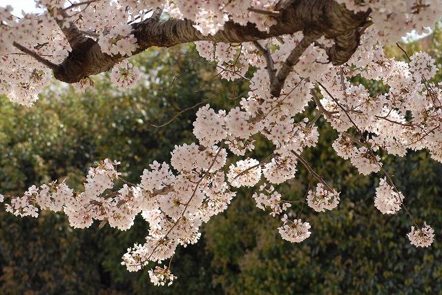春日公園の桜5