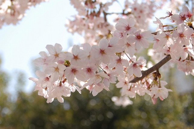 春日公園の桜6