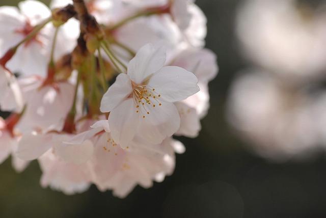 春日公園の桜7