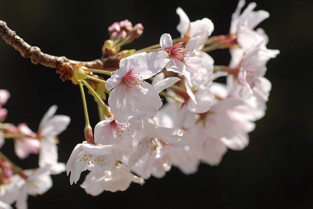 春日公園の桜8