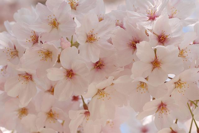 春日公園の桜9