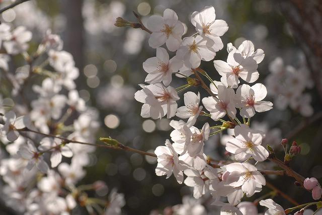 春日公園の桜10