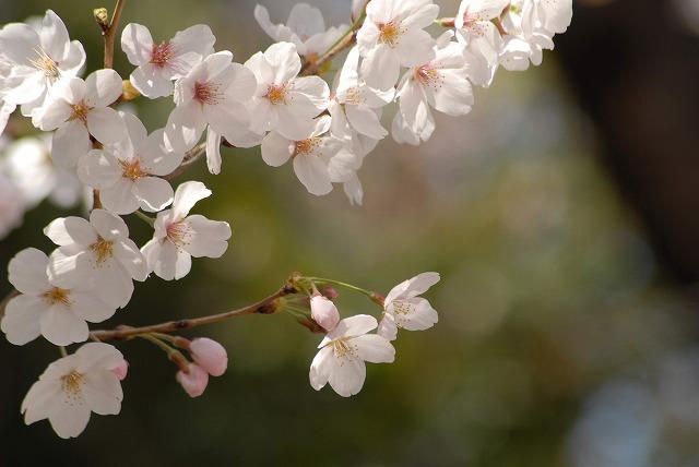 春日公園の桜11