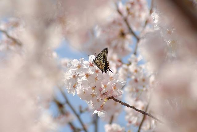 桜とアゲハ1