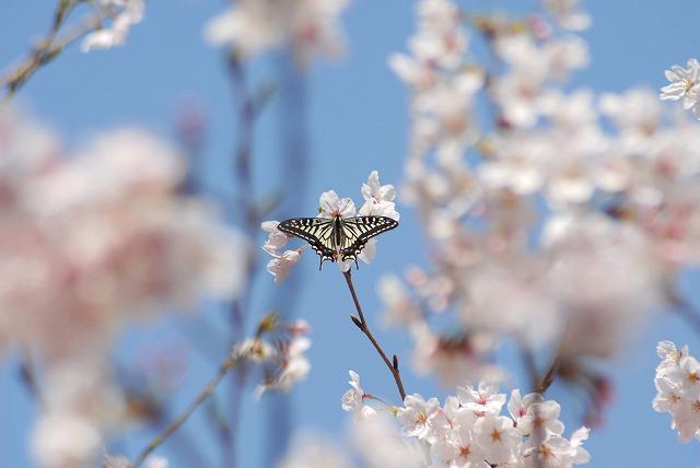 桜とアゲハ2