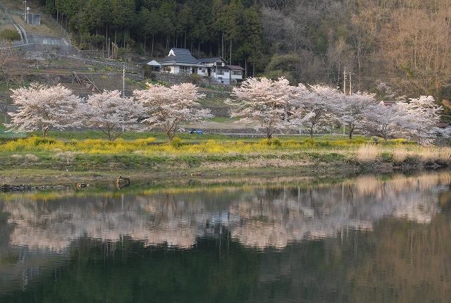 成羽の桜1