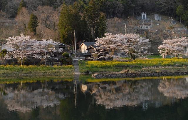 成羽の桜2