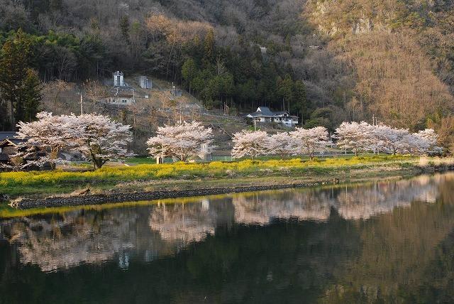 成羽の桜3