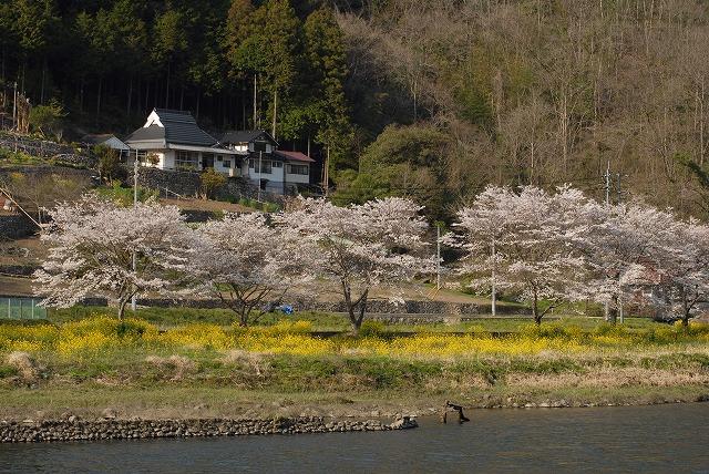 成羽の桜6