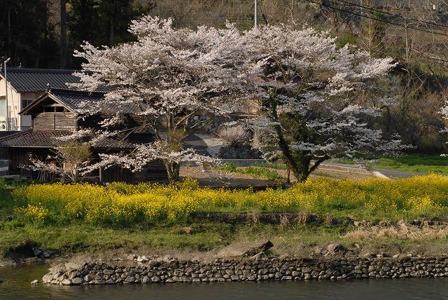 成羽の桜7