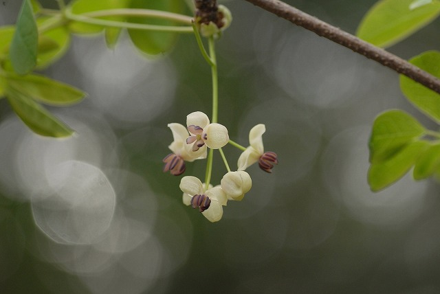 アケビの花3