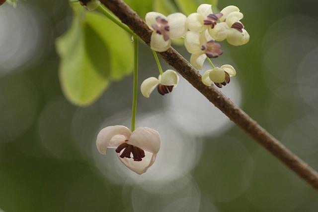 アケビの花4