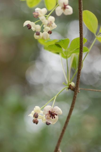 アケビの花5