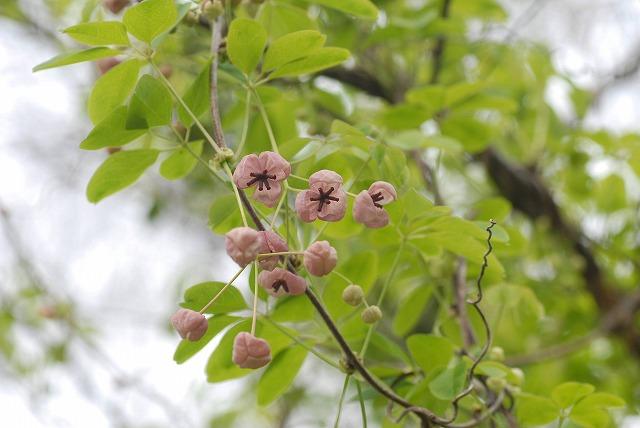 アケビの花8