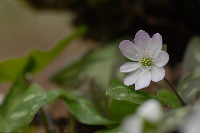 ユキワリ草1