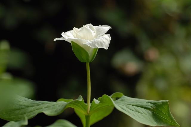 白花エンレイソウ1