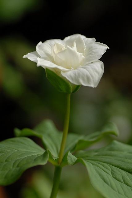 白花エンレイソウ2
