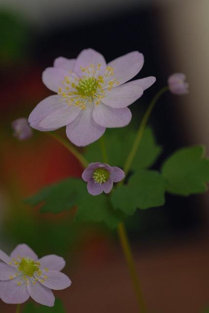 梅花カラマツピンク