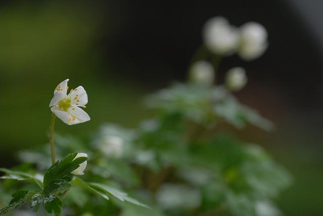シロカネ草2