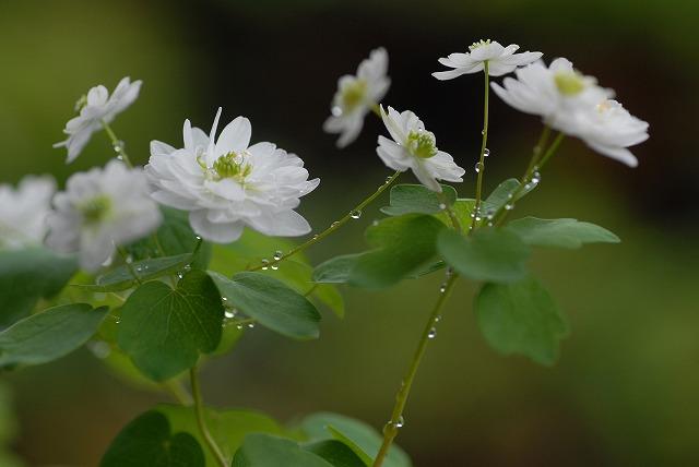 梅花カラマツ白1