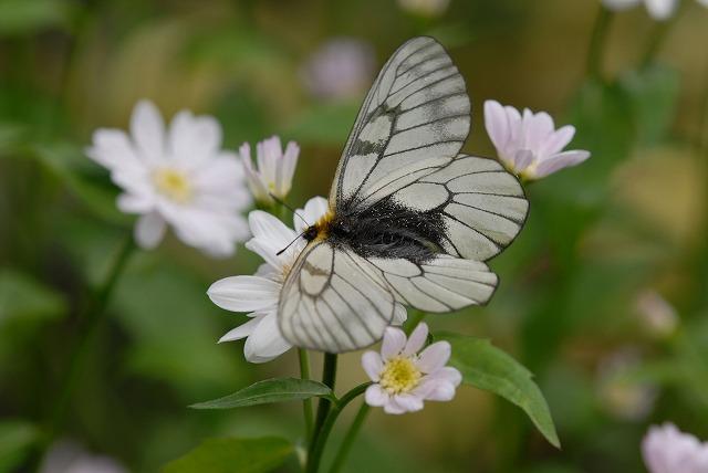 ウスバシロ蝶1