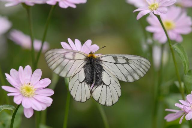 ウスバシロ蝶2