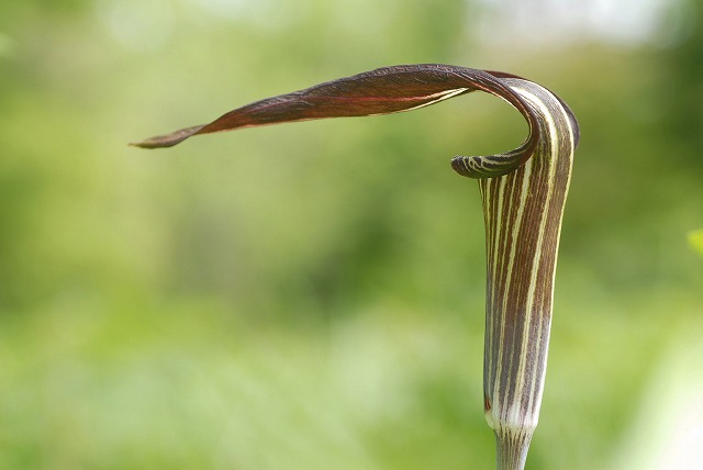 マムシ草4
