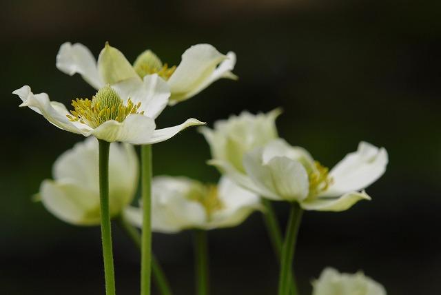 春咲きシュウメイ菊