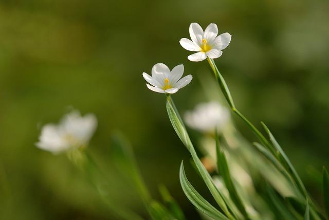 庭セキショウ(白花)