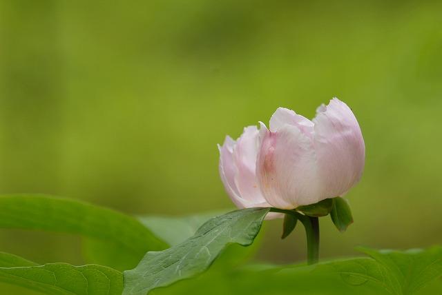 紅山芍薬6