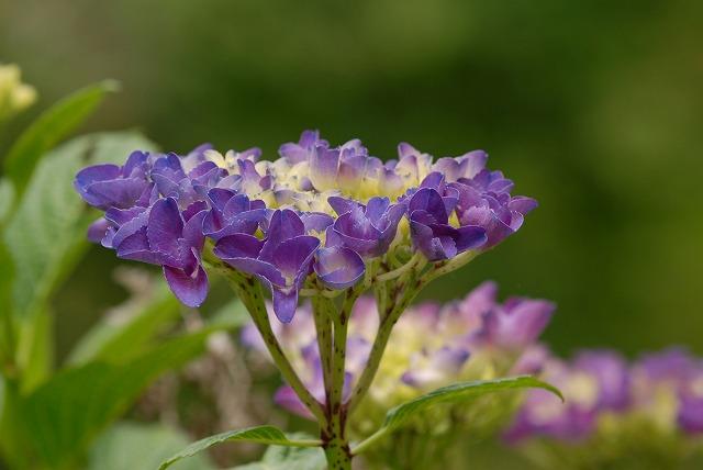 紫陽花37