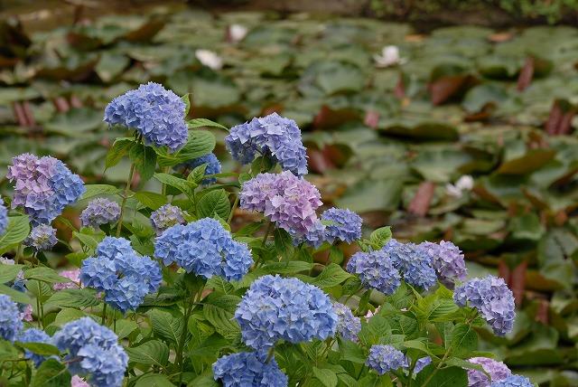 紫陽花41