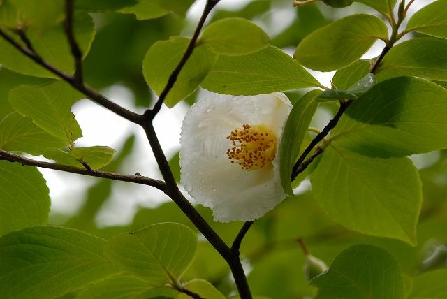 沙羅の花4