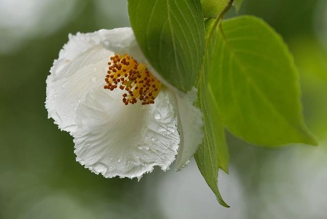 沙羅の花6
