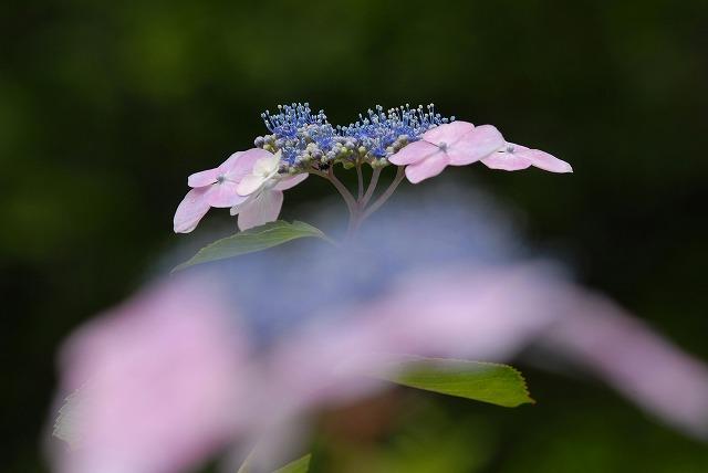 紫<br />陽花3