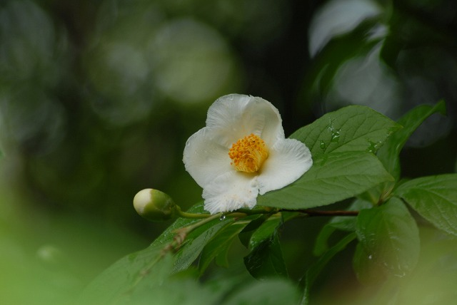 沙羅の花2