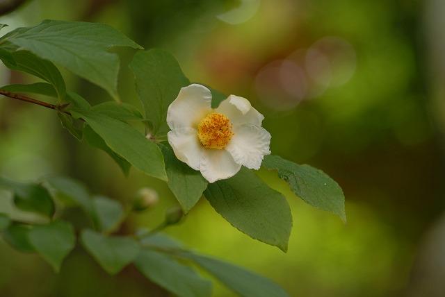 沙羅の花1