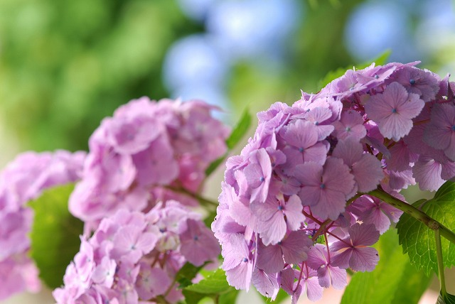 紫陽花17